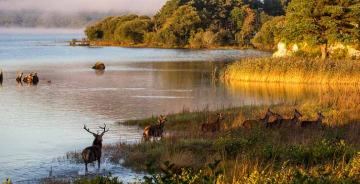 Red Deer in the Killarney National Park