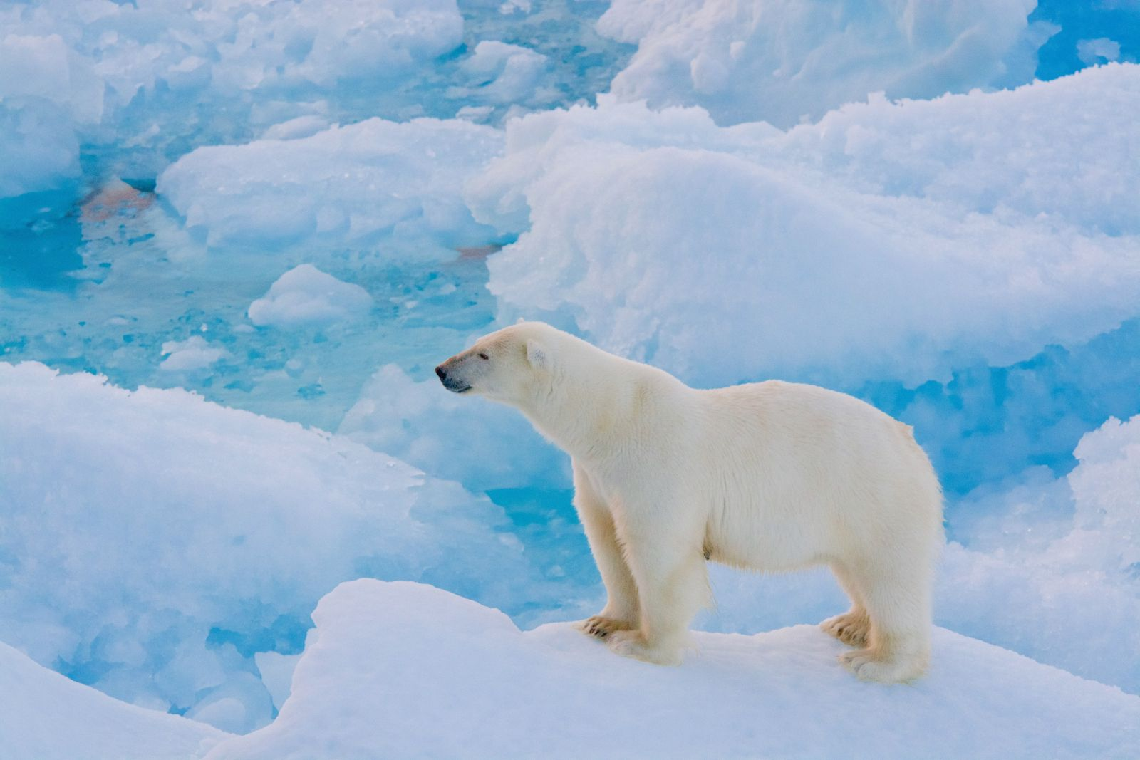 An Awesome Sighting Of Polar Bears In Arctic Canada