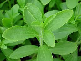 Stevia - ein Laborprodukt