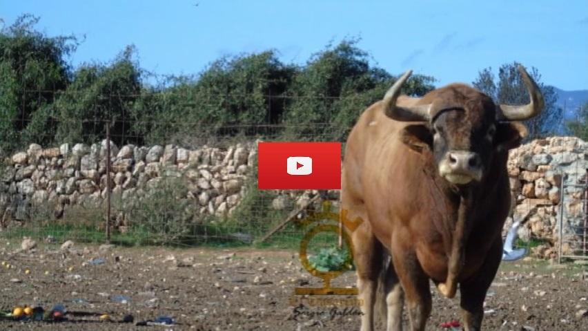 VÍDEO: Els toros mallorquins de El Onsareño