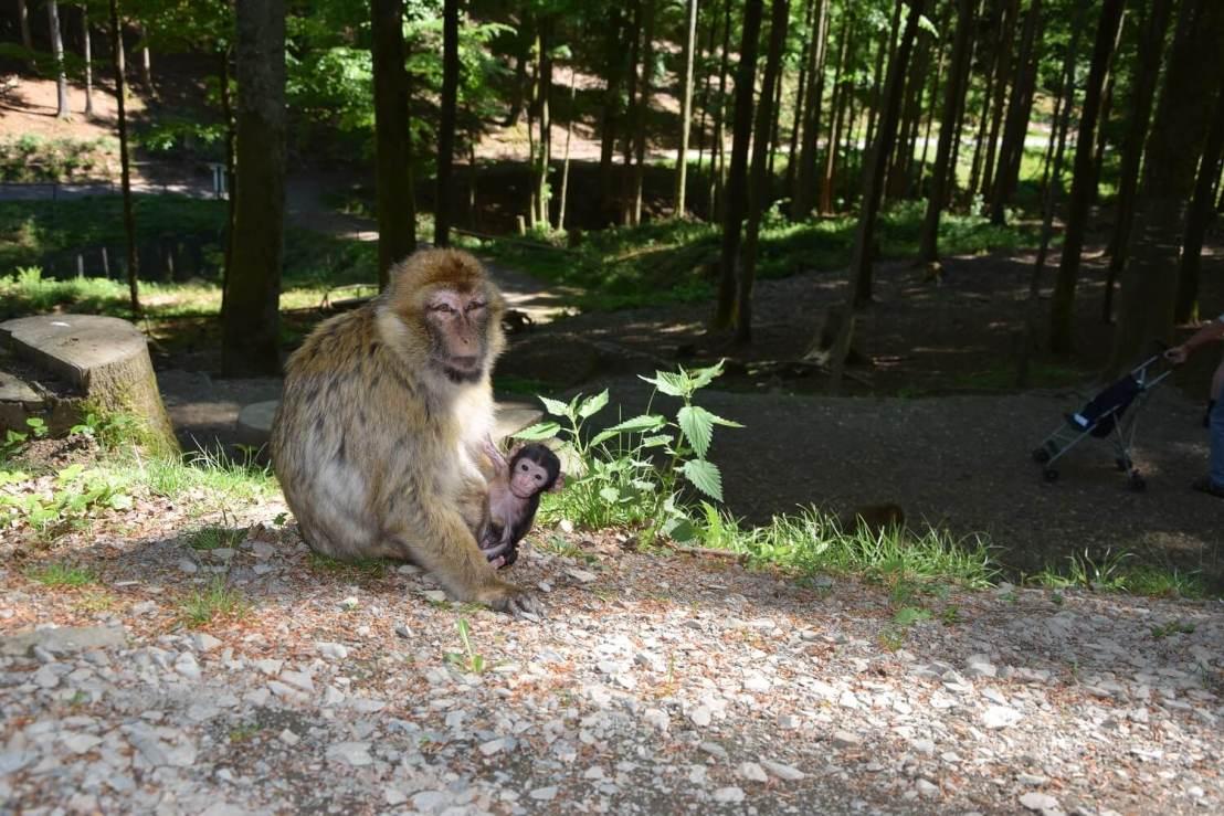 Apen van dichtbij Wildpark Daun