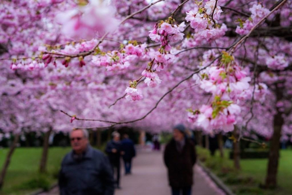 Kirsikankukkia Kööpenhaminassa