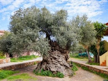 Maailman vanhin oliivipuu