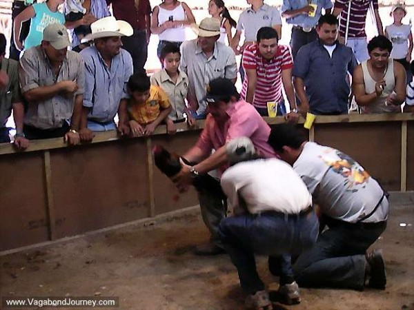 08-1638-cockfight-battle-600x450