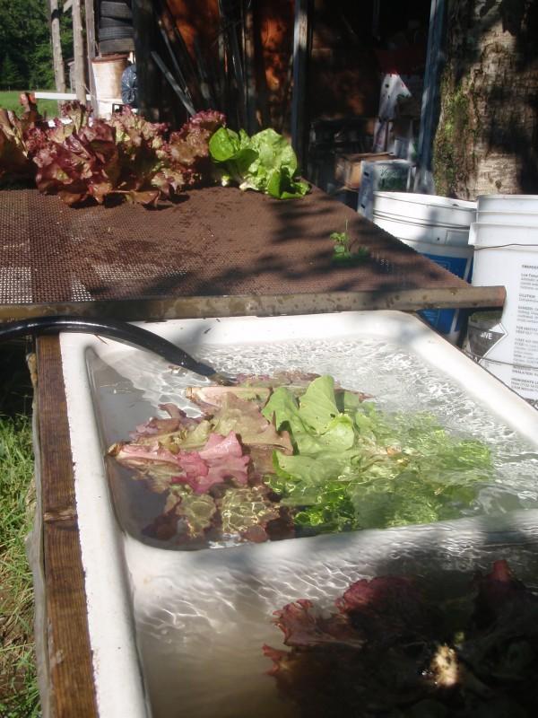 washing-organic-vegetables