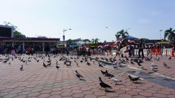 Pigeons that my kids like to chase