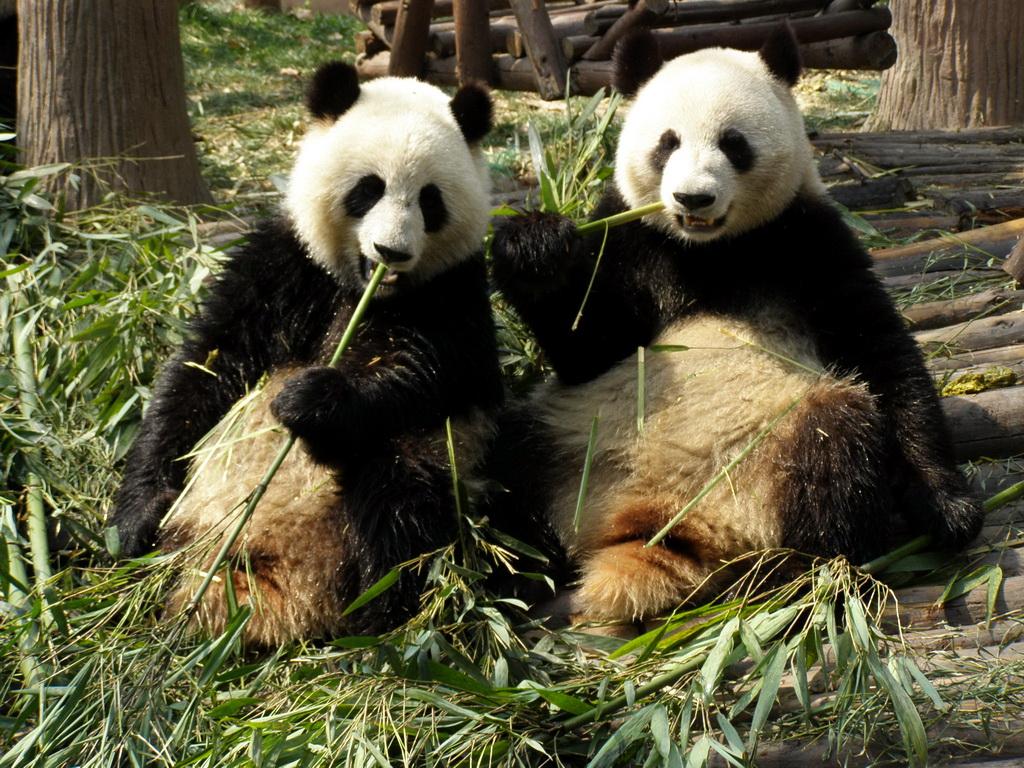 Pandas in Chengdu.