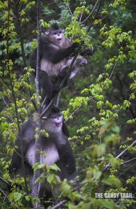 Yunnan's unique snub- nosed white monkeys at national park