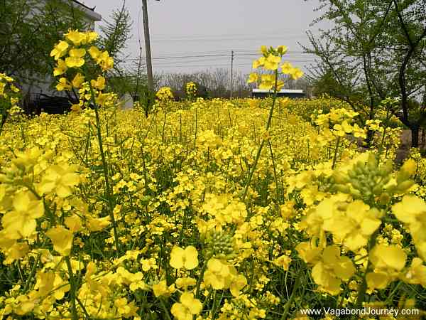 chinese-rapeseed