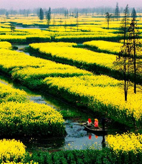Rapeseed blooming in duo tian fields in Xinghua. Photo from cntv.cn.