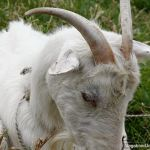Goat in Colombia