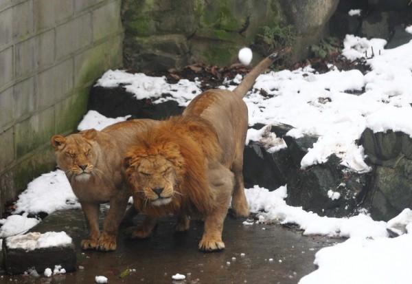 lions-snowballs-china