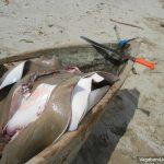 Manta Rays Caribbean