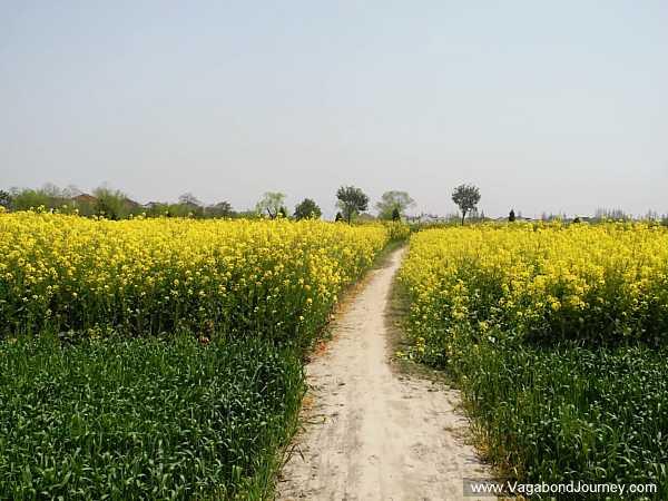 rapeseed-field