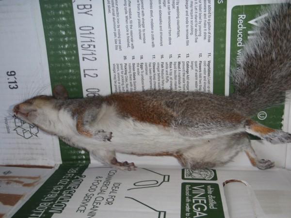 Roadkill squirrel on cardboard