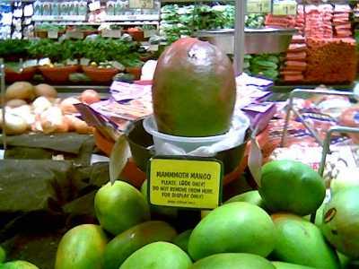 a huge mango in Hawaii