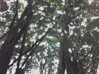 climbing banyan trees in Hawaii