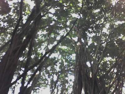 climbing banyan trees in Hawaii