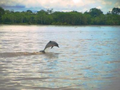 Amazon Dolphins
