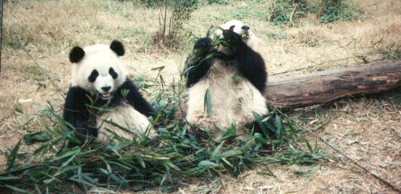 Adorable Pandas in China – Have You Been Here?