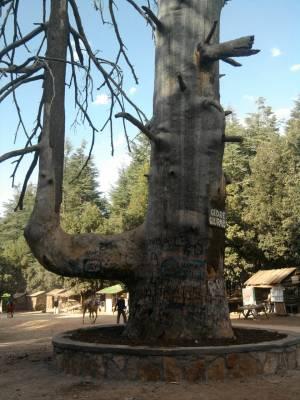 Atlantic Cedars in Morocco