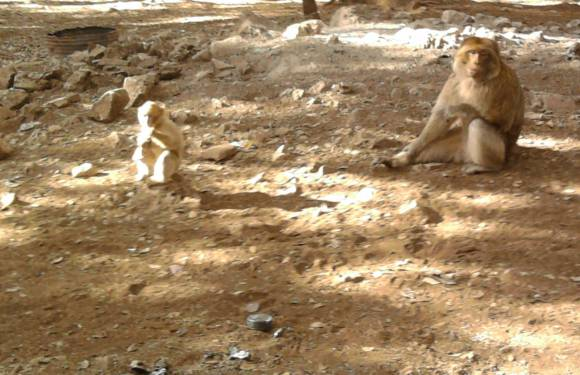 Freaking Out Barbary Apes in Azrou, Morocco