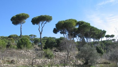 Lebanese Cedars in Chouf Moutains