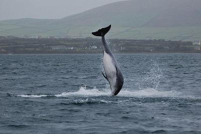 A Dolphin in Dingle cc image courtesy of  duloup/wikimedia/cc