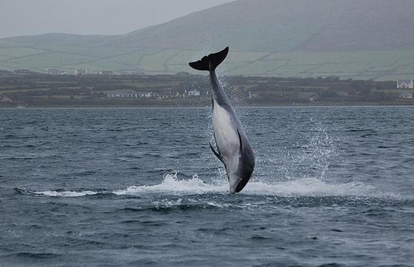 Dingle, a Dolphin and An Daingean