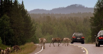 Photo of Lapland Reindeer courtesy of RukaKuusamo.com