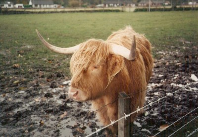 A hairy English Cow