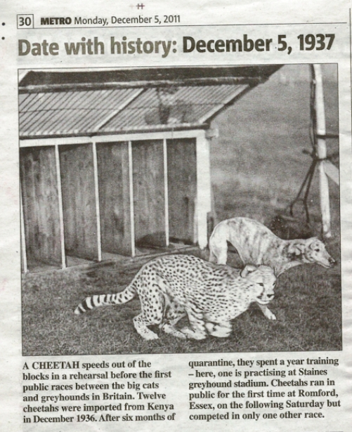 Cheetah racing as reported in the Metro on 5 December 2011