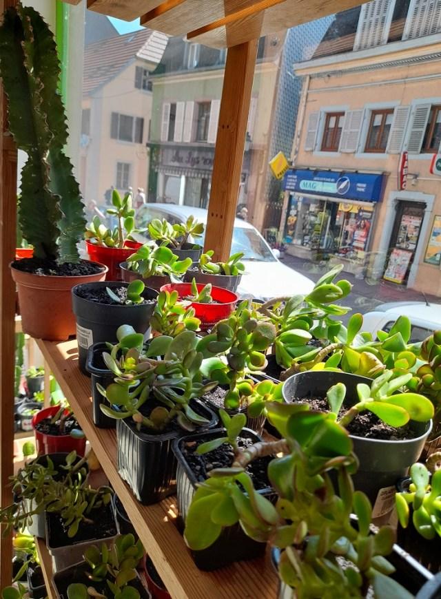 Les Crassulaceae (Crassulacées)(au premier plan) forment une famille de plantes herbacées , à feuilles généralement charnues. On les appelle aussi plantes succulentes.A l'arrière plan, Euphorbia eritrea.