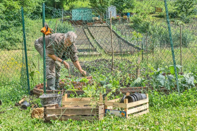 Plantation de tomates et désherbage.