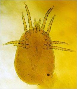 mites, northern fowl mites, mite infestation