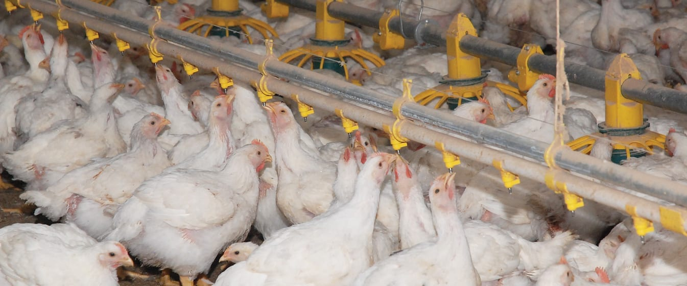 website-sliders-poultry-production-1-1345×560
