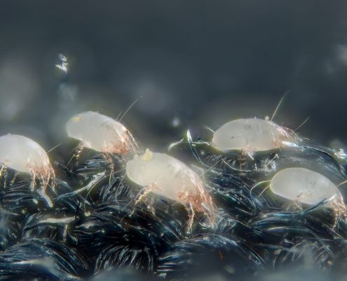 dust mites close up