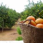 La naranja valenciana: Su origen y los inicios de la exportación
