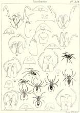 Planche de De Sève montrant diverses araignées et notamment la disposition des yeux. Tirée de Pierre-André Latreille (1818). Tableau encyclopédique et méthodique des trois règnes de la nature, vingt-quatrième partie : crustacés, arachnides et insectes, Mme Veuve Agasse (Paris) : 38 p. + 268-397 pl.