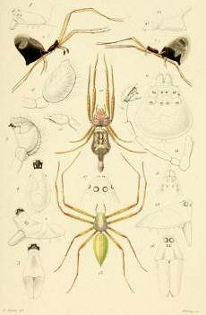 Planche montant diverses espèces nouvelles : les détails anatomiques les plus significatifs (céphalothorax, palpe du mâle, profil de l'abdomen) sont précisés en gris. Extraite d'Eugène Simon (1866). Sur quelques araignées d'Espagne, Annales de la Société entomologique de France, 4 (6) : 281-292.