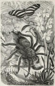 Mygale dévorant un oiseau dans décor tropical, planche tirée d'Alfred Edmund Brehm (1877). Brehms thierleben, allgemeine kunde des thierreichs. Vierte Abtheilung. Wirbellose Thiere. Erster Band, Verlag des Bibliographischen instituts (Leipzig) : xxx + 711 p.