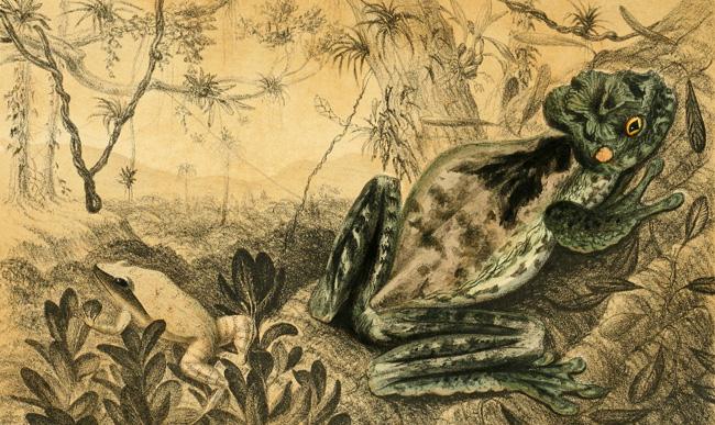 Deux grenouilles (Osteopilus crucialis et Litoria lutea), planche tirée de Philip Henry Gosse et Richard Hill (1851). A Naturalist's Sojourn in Jamaica, Longman, Brown, Green, and Longmans (Londres)
