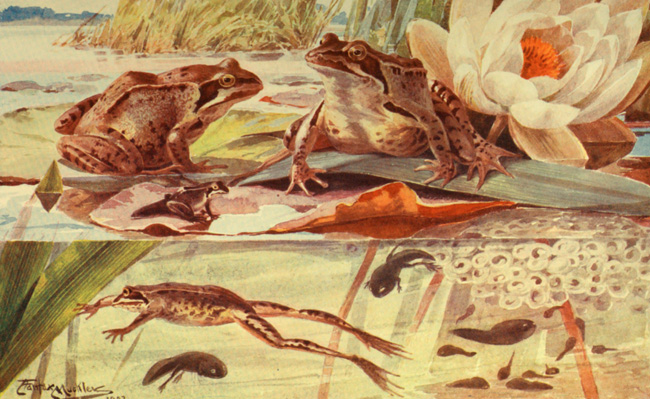 Grenouille rousse (Rana temporaria), illustration de Angelo Fairfax Muckley (1862-1926) tirée de Davis James Richard Ainsworth (1903). The Natural History of Animals: The Animal Life of the World in its Various Aspects and Relations [volume 6], The Gresham Publishing Company (Londres)