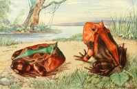 Grenouilles probablement du genre Ceratophrys, illustration tirée d'Otto zur Strassen (1912). Brehms Tierleben: allgemeine Kunde des Tierreichs. Lurche und Kriechtiere. Erster Band, Bibliographisches Institut (Leipzig)