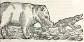 Hippopotame attrapant un crocodile, illustration tirée de Pierre Belon (1551). L'Histoire naturelle des estranges poissons marins, avec la vraie peincture & description du daulphin, & de plusieurs autres de son espèce, De l'imprimerie de Regnaud Chaudiere (Paris)