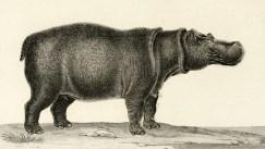 Hippopotame du Cap, planche tirée de Frédéric Cuvier (1816-1822). Dictionnaire des sciences naturelles. Planches. 2e partie : règne organisé. Zoologie. Mammifères, F. G. Levrault (Paris)