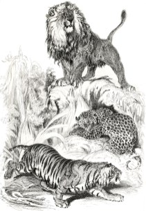 Grands félins, illustration de Sir Edwin Henry Landseer (1802-1873) extraite de Georges Cuvier (1849). The Animal Kingdom: Arranged After Its Organization, Forming a Natural History of Animals, and an Introduction to Comparative Anatomy, Wm. S. Orr & Co. (Londres)
