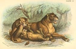 Exemple d'une image de médiocre qualité, reprise plus de 60 ans après sa première parution : illustration extraite de Richard Lydekker (1896). A Hand-book to the Carnivora. Part I. Cats, Civets, and Mungooses, Edward Lloyd, Ltd (Londres)
