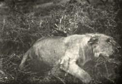 Photographie d'un lion par l'un des pionniers de la photographie animalière, Carl Georg Schillings (1865-1921) ; illustration extraite de son ouvrage de 1907, In Wildest Africa, Harper & Brothers (New York)