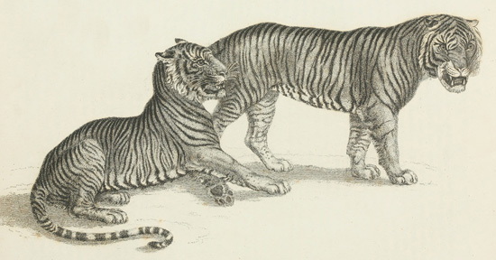 Planche tirée de Robert Huish (1830). The Wonders of the Animal Kingdom: Exhibiting Delineations of the Most Distinguished Wild Animals, in the Various Menageris of This Country: Accompanied by a Concise Description of the Natural History of Each Animal, in Its Savage or Domesticated State: Including Curious and Interesting Anecdotes and Facts, Characteristic of Its Peculiar Habits: Collected from Original Information, Thomas Kelly (Londres)